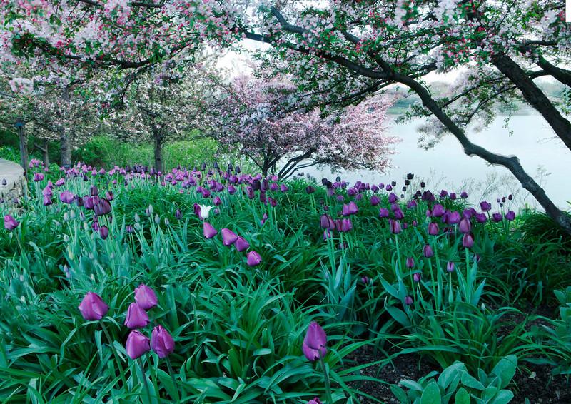 Tulips with Crabapple trees, Illinois