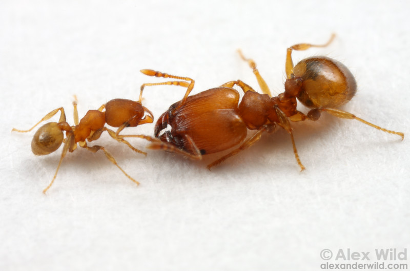 Pheidole dentigula  Archbold Biological Station, Florida, USA