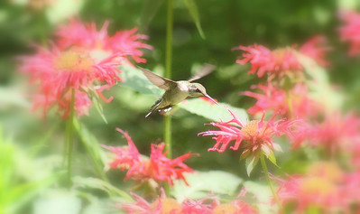 Hummingbird in the garden