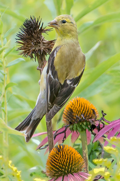 Gold Finch on Coneflower
