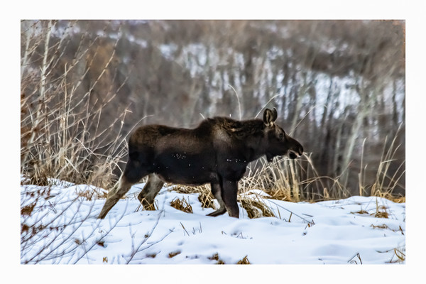 Moose Along The Provo River