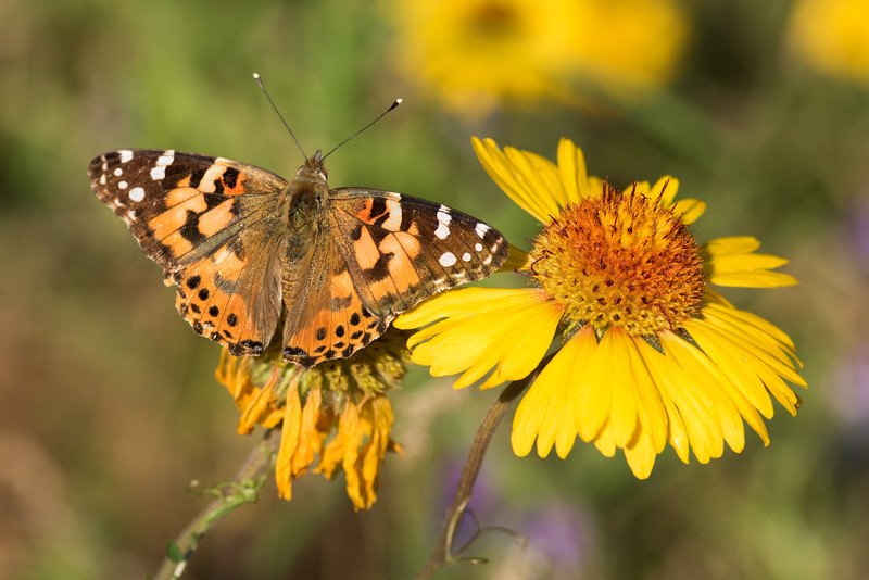 Painted Lady Butterfly and Blanket Flower