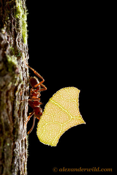 Acromyrmex disciger leafcutter ant.
