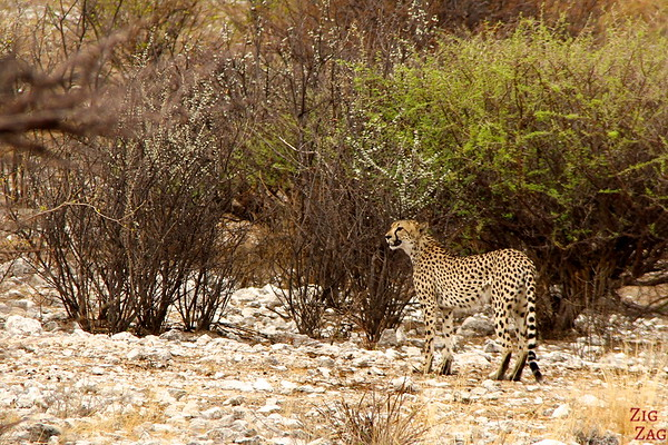 cheetah in Etosha National Park, Namibia