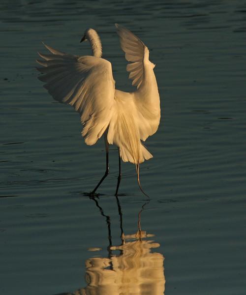 WB~Egret dawn landing1280.jpg