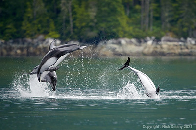 Pacific White Sided Dolphins Trio