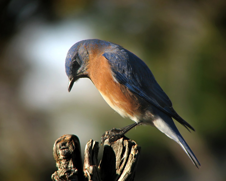 bluebird_6892.jpg