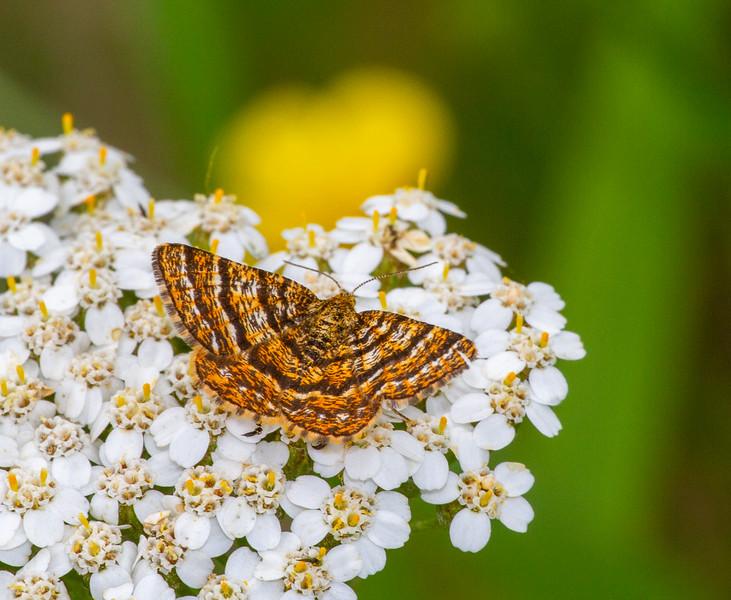 Epelis truncataria Black-banded Orange moth butterflying with Parker Backstrom and Holly Nichols Lake Road Sax-Zim Bog MN  IMG_0164.jpg
