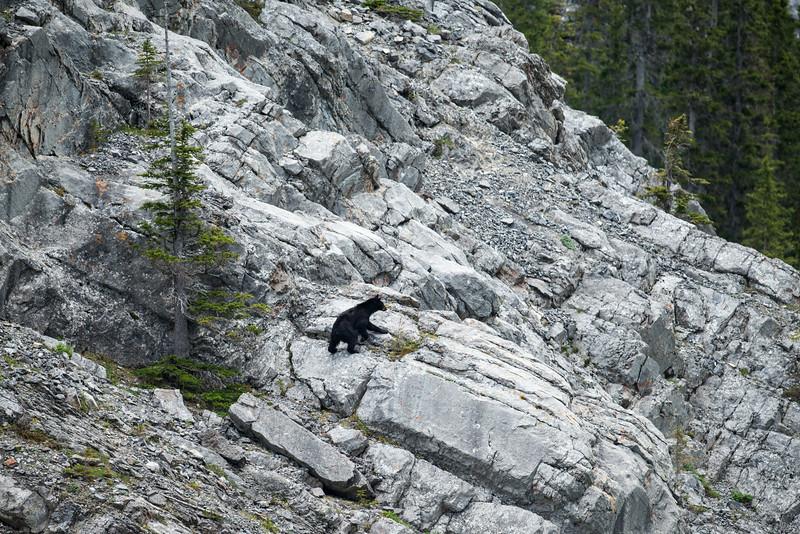 Black Bear - Rocky Mountains