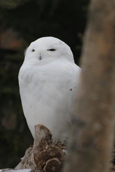 Snowy owl (in Winnipeg zoo)