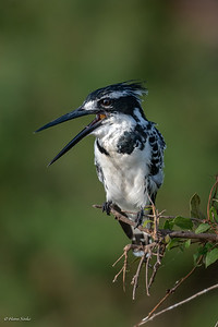 Kingfisher, Pied (spp. rudis)