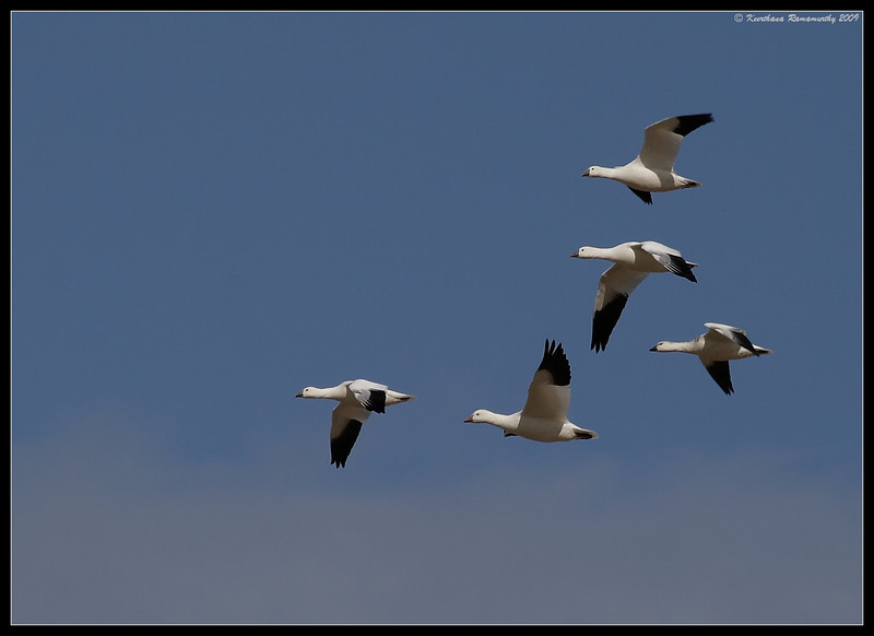 Ross's Geese, near Unit 1, Salton Sea, Imperial County, California, November 2009