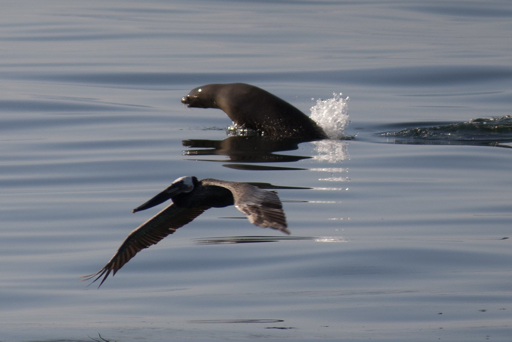 . A California brown pelican and California sea lion fish in oil-contaminated water from an inland oil spill near Refugio State Beach on May 20, 2015 north of Goleta, California. About 21,000 gallons spilled from an abandoned pipeline on the land near Refugio State Beach, spreading over about four miles of beach within hours. The largest oil spill ever in U.S. waters at the time occurred in the same section of the coast where numerous offshore oil platforms can be seen, giving birth to the modern American environmental movement.  (Photo by David McNew/Getty Images)