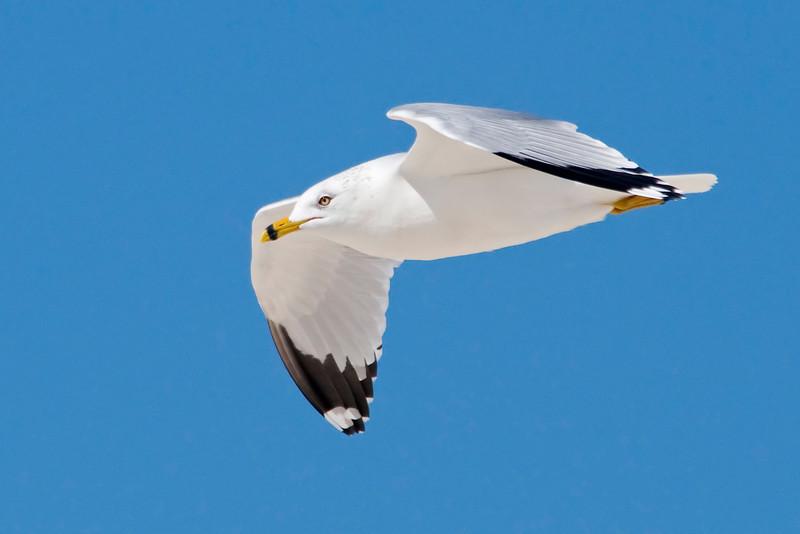 Gull - Ring-billed - St. George Island State Park, FL - 01