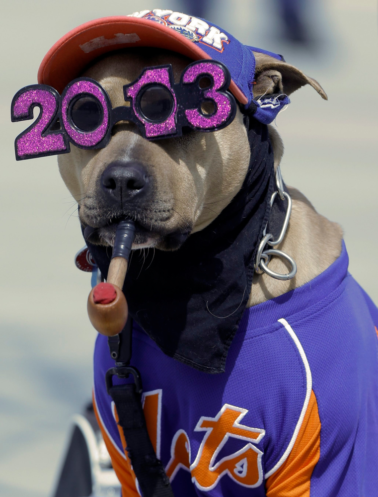 . A dog waits to pose for photographs with people before an opening day baseball game between the New York Mets and the San Diego Padres Monday, April 1, 2013, in New York. (AP Photo/Frank Franklin II)