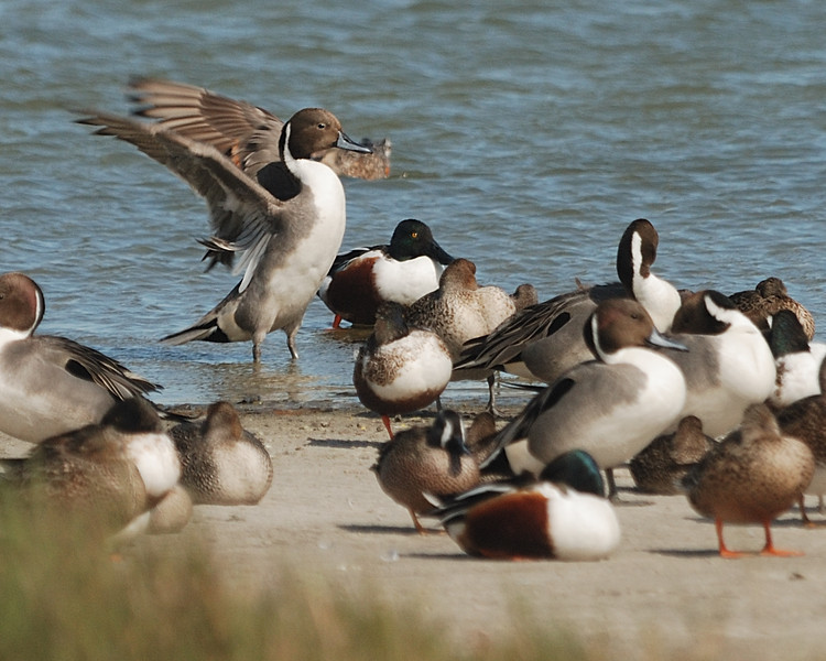 Northern Pintail and others - Suder Park, Corpus Christi