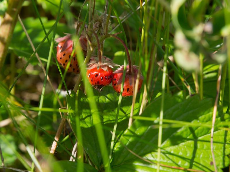 Wild strawberries at Eagle beach.