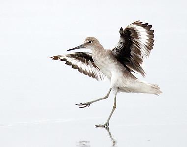 Shorebirds/Morro Bay, Ca