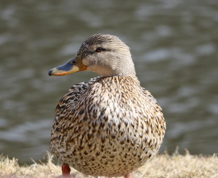 female mallard HF.jpg