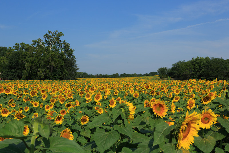 2013_08_24 Sunflowers 001.jpg