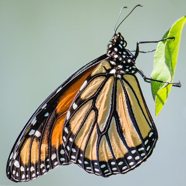 Monarch Butterfly in Profile