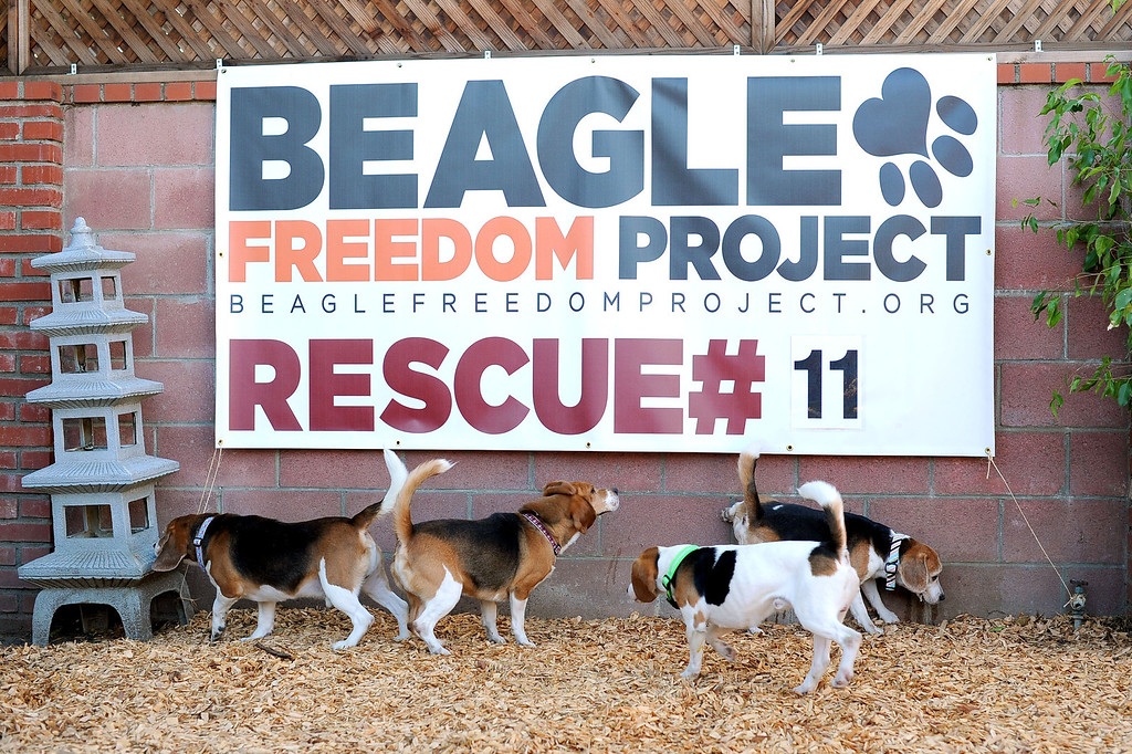 . Ten beagles rescued from a research laboratory by Beagle Freedom Project inspect their new home February 27, 2013.  The dogs traveled nearly 1500 miles to their new home in Valley Village, CA. (Andy Holzman/Los Angeles Daily News)