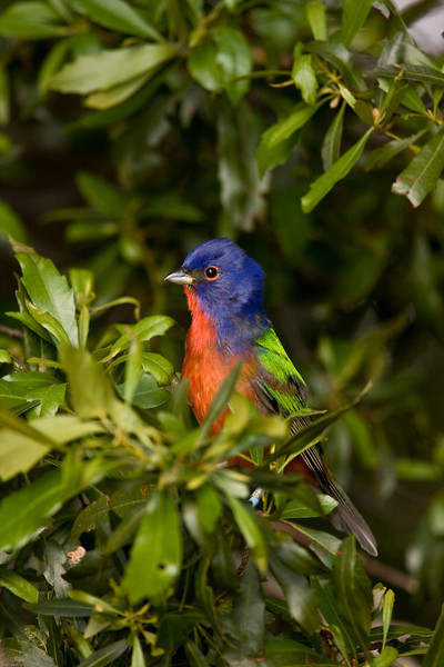 Adult male Painted Bunting.