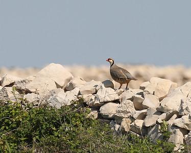 Kivikkopyy (Alectoris graeca)
