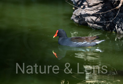 Waterfowl, American Coots & Moorehens