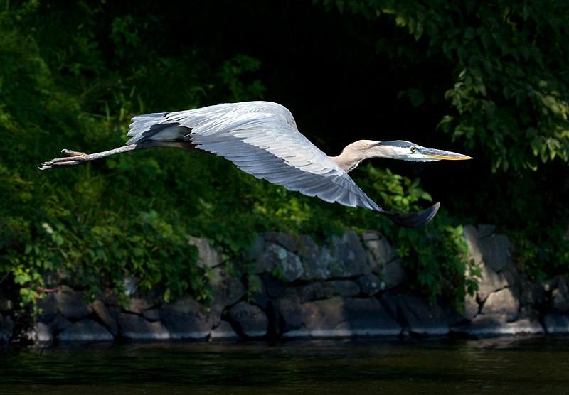 great-blue-heron-in-flight-4_3684818736_o.jpg