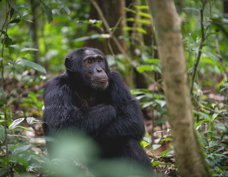 Uganda_T_Chimps-37.jpg