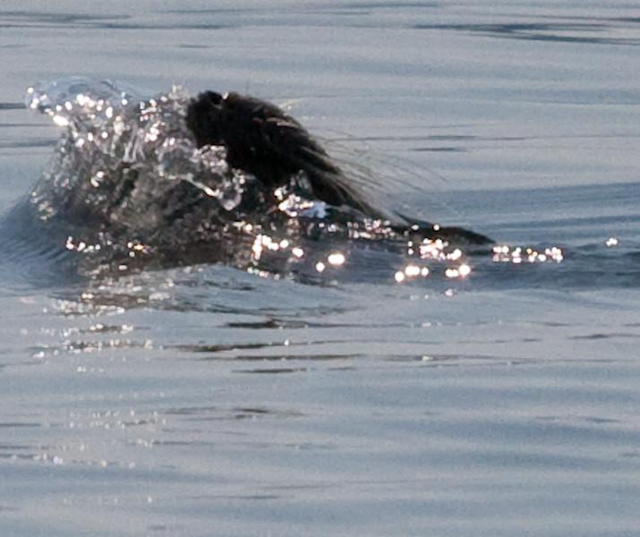 SURPRISE!  Seal Slips Under Water