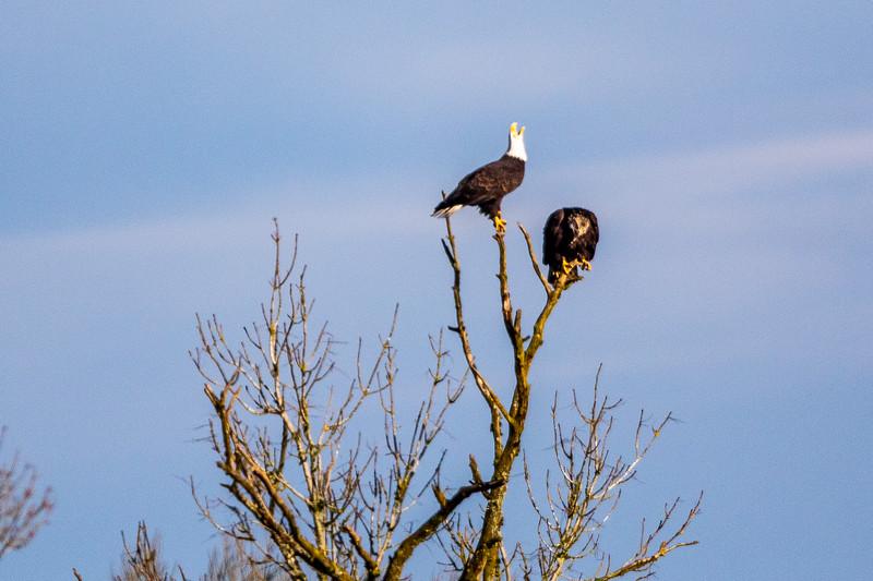 Bald Eagle Tree Dispute -0160.jpg