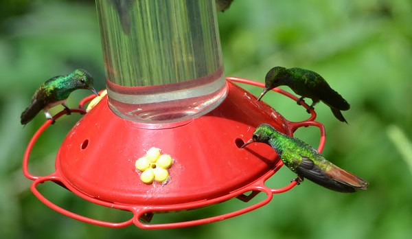 Rufous-tailed Hummingbird - front right