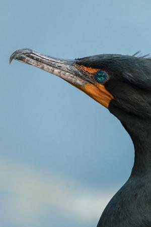 03_Everglades - Double Crested Cormorant