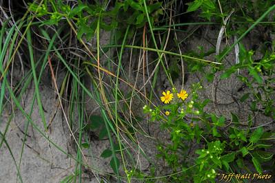 Camphorweed