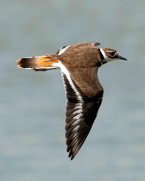 Killdeer in flight over Meyerland Basin, Houston