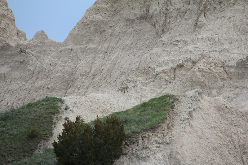 20140523-141-BadlandsNP-MountainGoats.JPG