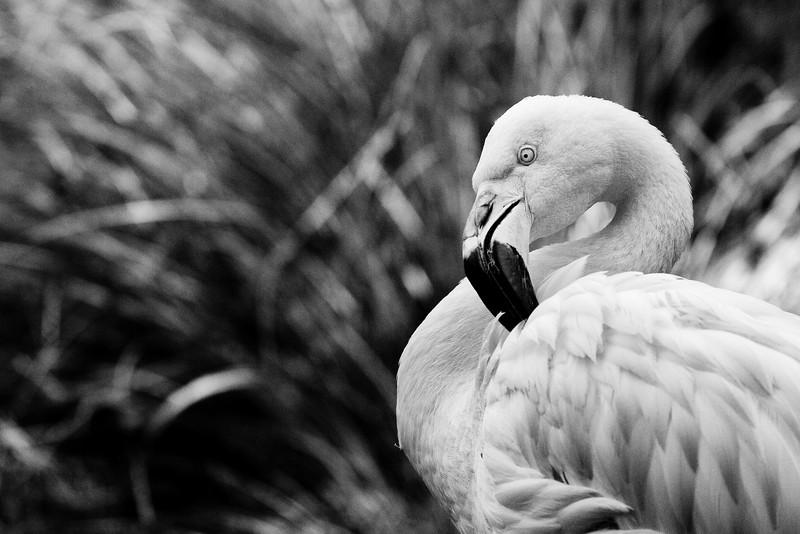 (Non-Pink) Flamingo_246064522.jpg