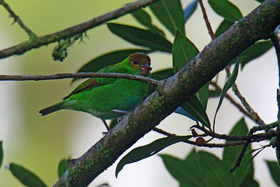 Rufous-winged Tanager (Lifer)