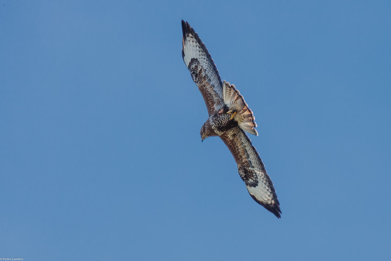 Buzzard Riding the Thermals