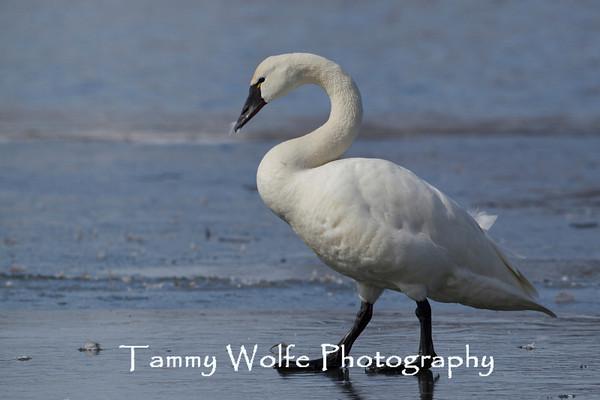 Swan, Tundra