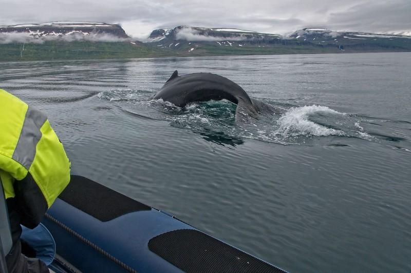 whale isafjordur 2.jpg