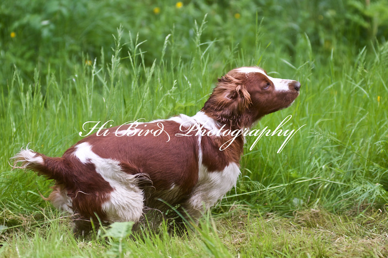 welsh springer 078.jpg