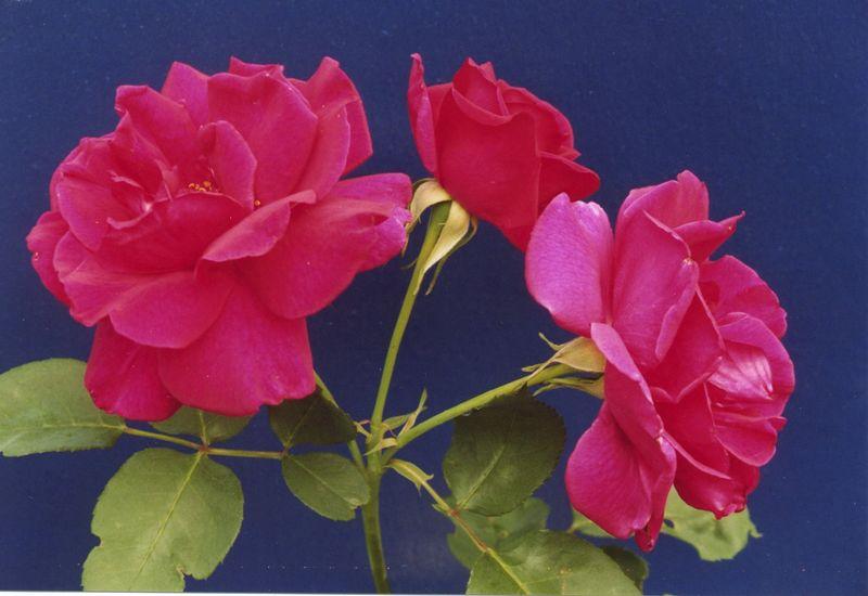19Dec2003-6_Roses.jpeg
