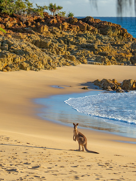 Kangaroo on the beach at Agnes Water