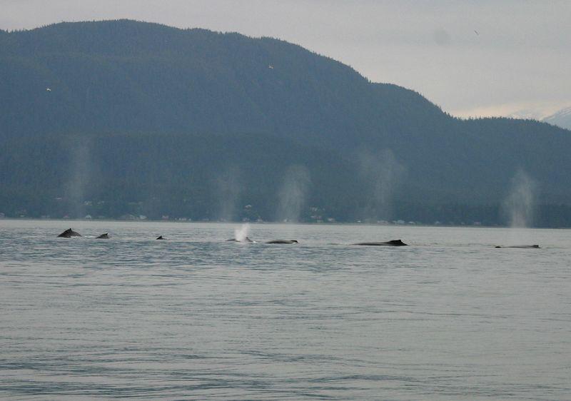 WHALES BLOWING  JUNEAU ALASKA ; JUNE 2004