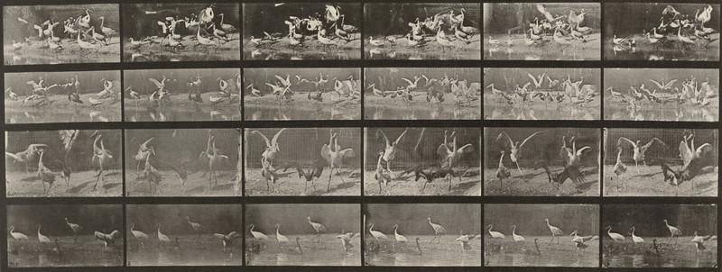 Storks, swans, etc. (Animal Locomotion, 1887, plate 777)