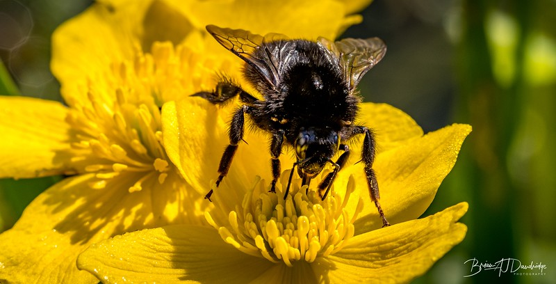 Bumble-Bee on a Marsh Marigold