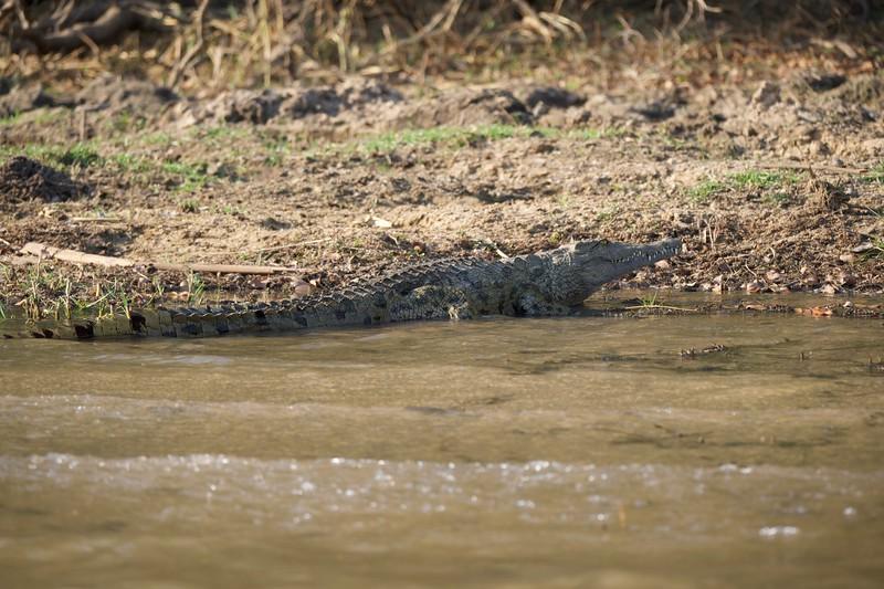 Crocodile, Zambezi River